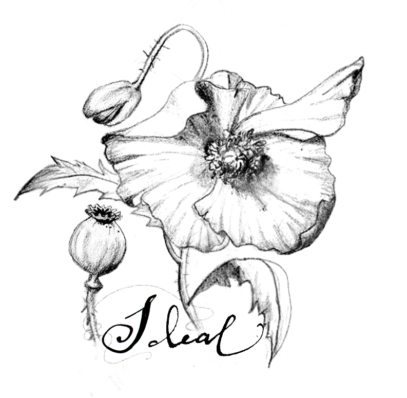 Opium Poppy Plant Drawing